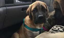 AKC English Mastiff Born Sept. 29, 2017