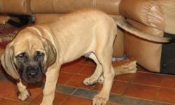 AKC English Mastiff Puppies 15 Weeks Old