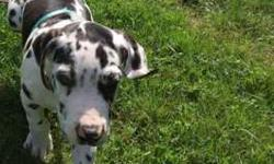 AKC Euro Great Dane Puppies 4 months & 7 weeks