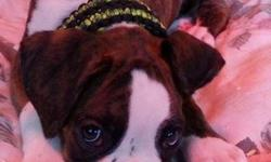 Akc Full Euro Boxer Puppies Male and Female
