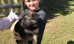 AKC German Shepard Puppies