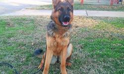 AKC German shepherd deep red 100% West German VERy WELL