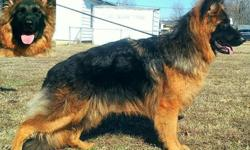 AKC German Shepherd male DEEP 100% West German 8 months