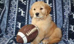 AKC Golden Retriever Puppies - Upcoming Litter