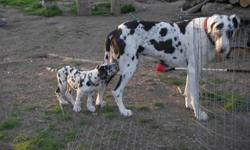 AKC Great Dane Stud Service