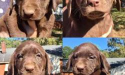 AKC Labrador Retriever Chocolate Lab Puppies