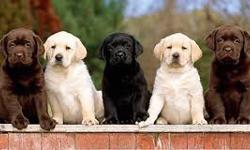 AKC Labrador Retrievers puppies for sale
