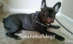 AKC Male, Blue French Bulldog for sale. 7 months