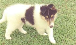 AKC male Collie Puppy