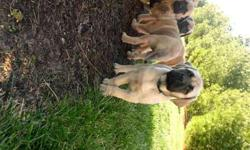 AKC Mastiff puppies