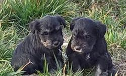 AKC Miniature Schnauzer Puppies- Black&Silver: 2 Males /1