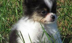 AKC PAPILLON Puppy