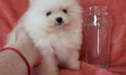 Akc Pomeranian Puppies -Raised