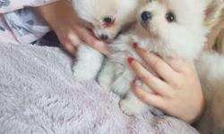 Akc Pomeranian Puppies -Cute Boy & Girl