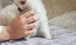Akc Pomeranian Puppies -Pretty Boy & Girl