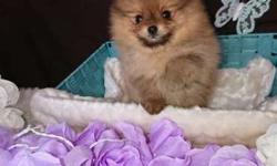 Akc Pomeranian Puppies -Happy Boy & Girl