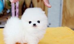 AKC Pomeranian puppies for sale to new home now
