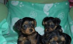 AKC precious teacup yorkie puppies