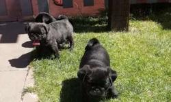 Akc Pug Puppies -Raised Litter