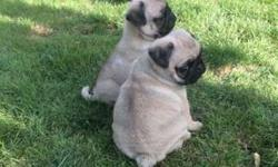 Akc Pug Puppies -Pretty Litter