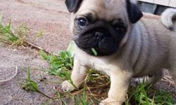 Akc Pug Puppies -Active Litter