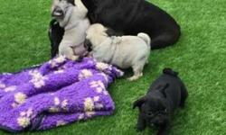 Akc Pug Puppies -Home Training