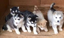 AKC Registered Alaskan Malamute Puppies