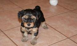 AKC Registered Yorkie Puppies