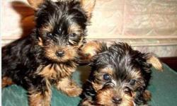 AKC Registered Yorkshire Puppies