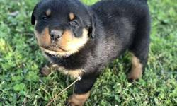 AKC Rott Puppies