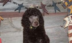 AKC Standard Poodle Puppies-Chocolate and Silver