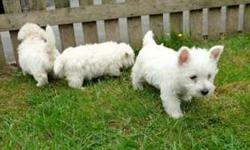 Akc West Highland Terrier Puppies -Top gifted