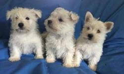 Akc West Highland Terrier Puppies -Brave New