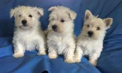Akc West Highland Terrier Puppies -Outstanding New