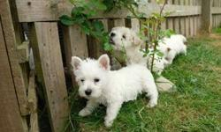 Akc West Highland Terrier Puppies -Top Super