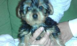 AKC Yorkshire Terrier Puppies