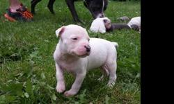 All White Champion Blood-lined Pit Bull Puppies (2 Males
