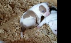 All White Champion Bloodlined Pit Bull Puppies (2 LEFT!