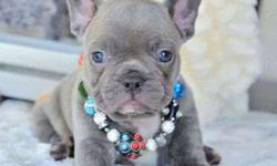 Amaziing Blue French Bulldog Puppies