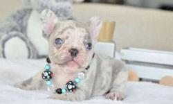 Amazing Girl and Boys French Bulldog Puppies