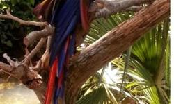 . *. .Amazing M/F Scarlet Macaw Parrots Available