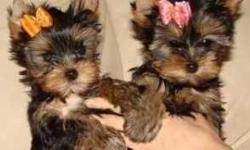 Amazing show baby Yorkie Puppies ready