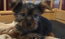 AMAZING Yorkshire Terrier puppies( M/F)