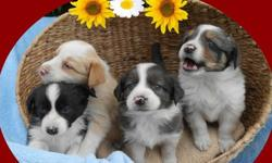 Ambitious Australian Shepherd puppies coming home