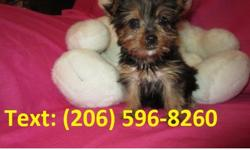 Amelia Adorable, cute Akc Yorkie Puppies Available