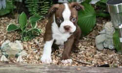 amicable Boston Terrier Puppies Coming Home Now