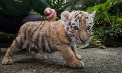 Amur Tigers, Siberian Tigers, Lions and Cheetah Cubs for