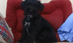 AQO Miniature Schnauzer puppies for re-homing