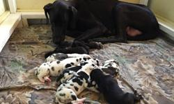Arwilo Great Dane Babies Healthy and ready to go