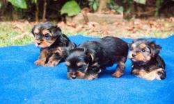 asddggh Ready Male And Female Yorkie puppies for sale to